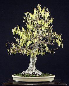Loose flowering hornbeam, Carpinus laxiflora