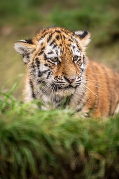 Tiger, Wildlife Heritage Foundation 26/10/2012 (by Dave learns...
