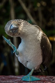 Blue-footed Booby dancer by Pascal Conicella