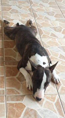 Resultado de imagen para bull terrier on the floor