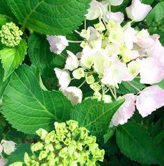 #blossom #white #green // #blüte #grün #weiss #hortensie