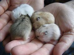 Related image Cute Wild Animals, Cute Little Animals, Cute Funny Animals, Animals Beautiful, Animals And Pets, Cute Dogs, Funny Hamsters, Robo Dwarf Hamsters, Tierischer Humor
