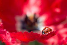 ladybird by salix237. @go4fotos