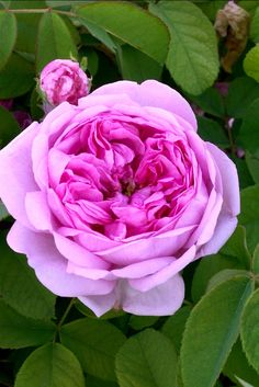 Comte de Chambord, Portland rose, continuous flowering. A vigorous, erect bush bearing very fragrant, damask scented,  pinkish-lilac, full, flat flowers, borne continuously. Outstanding.