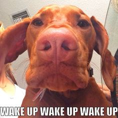 Every morning - Vizsla style. Bender and I have this thing every morning called head butt of love where he gets this close and then presses his forehead to mine. It's his special way to say good morning. Vizsla Puppies, Weimaraner, Vizsla Dog, Vizsla Funny, Funny Dogs, Animals And Pets, Funny Animals, Cute Animals, Hungarian Vizsla