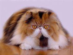 gatti persiani immagini - Google Search