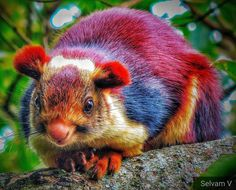 Malabar Giant Squirrels Are Colorful Indian Rodents - Simplemost