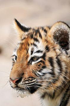 Portrait of a baby Amur tiger