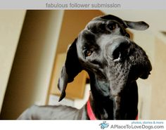 Funny Dogs Great Dane Images 2011 | Funny Animals