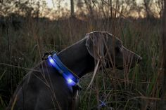 LEUCHTIE LED light collar for dogs in blue