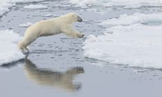 What do you think: will this polar bear make it to the other side without falling in the water?