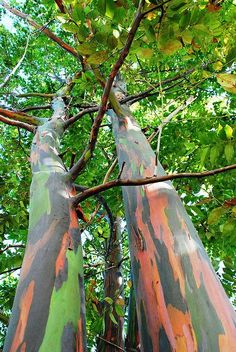 20 Pcs Rare Rainbow Eucalyptus Seeds Giant Showy Tropical Tree Seeds Japanese Bonsai For Garden Planting Baby And Lover Gift Trees And Shrubs, Trees To Plant, Rainbow Eucalyptus Tree, Bonsai, Weird Trees, Unique Trees, Old Trees, Tree Seeds, Secret Gardens