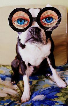 Boston Terrier - @Anderson White Rezende tô de olho em vc heim!!!