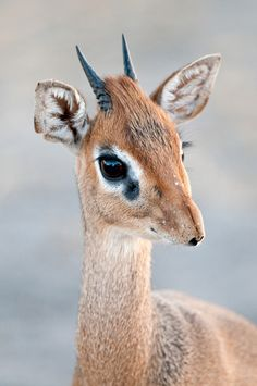 Dik-diks have a cooling mechanism within their snouts that stops them from overheating, even in extreme temperatures of up to 104°F. Photo: Billy Dodson