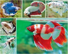 Betta Siamese Fighting Fish                                                                                                                                                                                 Mais