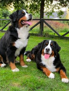 Bernese Mountain Dogs Doggies, Pet Dogs, Dogs And Puppies, Dog Cat, Beautiful Dogs, Animals Beautiful, Great Swiss Mountain Dog, Bernese Puppy, Animals And Pets