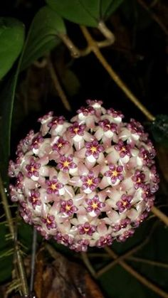 "Hoya Pubicalyx pink silver 18/"" TO 24/"" LONG CUTTING Wax plant tropical vine SALE!"