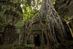 """Tree at Ta Prohm  The wonderful jungle trees growing over the ruins at """"Tomb Raider Temple"""" (Ta Prohm) in Siem Riep, Cambodia"""