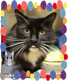 Hey folks, for a limited time only, one lucky adopter has a chance to take home the COOLEST whiskers in Carroll Co.! This is Hackett, today's Cat of the Day. Obviously, he is a bit of a brat cat, sticking his tongue out at the camera. You really can't fault him for this silliness, though, because it is SO booooring hanging out an animal shelter. Poor guy is stuck at the Humane Society in Carroll Co., MD. You can reach them at 410-848-4810. Can you give Hackett the happy new life he deserves?