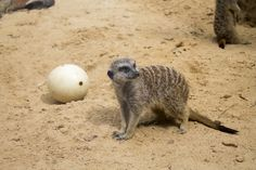 Our zoo keepers give the meerkats treats by hiding them inside ostrich eggs.