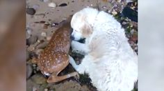 This video of a dog saving a drowning baby deer is the sweetest thing you'll see all day https://www.washingtonpost.com/news/animalia/wp/2017/07/18/this-video-of-a-dog-saving-a-drowning-baby-deer-is-the-sweetest-thing-youll-see-all-day?utm_term=.f9d295413a7a#utm_sguid=149300,858d6a3d-d724-d66d-7992-7d3c27379c10