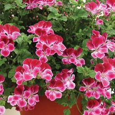 Geranium 'Angel Eyes Burgundy' - Angel Pelargoniums - The Vernon Geranium Nursery