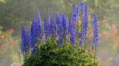 Rittersporn gehört zu den beliebtesten Pflanzen im Bauerngarten. Die Stauden passen besonders gut zu Rosen. Tipps zu Pflege und Aussaat von Rittersporn.