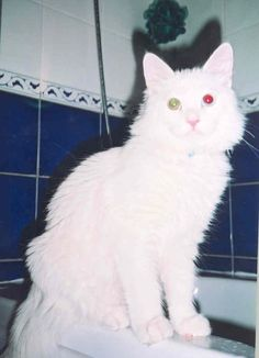 KT looking odd on the edge of the bathtub -- he liked to play in water. Green Eyes, Cool Cats, Bathtub, Play, Water, Animals, Standing Bath, Gripe Water, Bathtubs