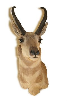 61 Best Taxidermy Images On Pinterest Taxidermy Antlers