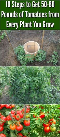 10 Steps to Get 50-80 Pounds of Tomatoes from Every Plant You Grow. Revealed…