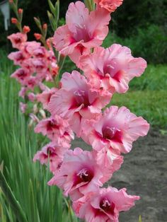 Gladiolus 'Wine & Roses' Flower of August Gladiolus Bulbs, Gladiolus Flower, Exotic Flowers, Pretty Flowers, Colorful Flowers, Summer Flowers, Fresh Flowers, July Birth Flower, Birth Flowers