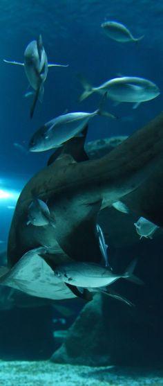 #Tubarao #Mangona e um #cardume de #peixes no #AquaRio - O maior #AquarioMarinho da #AmericadoSul. Photo: #AlexandreMacieira | #RiodeJaneiro #Brasil