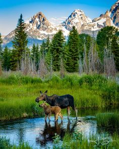 Top Ten Most Popular National Parks Moose Pictures, Nature Pictures, Grand Teton National Park, National Parks, Beautiful Creatures, Animals Beautiful, Animals And Pets, Cute Animals, Photo Animaliere