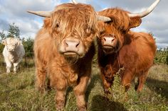 Scottish Highland Cow, Highland Cattle, Plush Animals, Farm Animals, Cute Animals, Fluffy Cows, Cow Pictures, Baby Cows, Beef Cattle