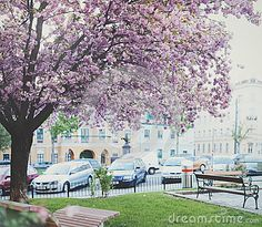 Photo about Blossoming cherry tree in Vienna. Image of city, square, town - 70150244 Cherry Tree, Cherry Blossom, Vienna, Stock Photos, Urban, City, Spring, Photography, Image