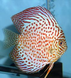 Photo Image of Red Ruby Spotted Discus Fish For Sale by Waialeale Discus Hatchery.