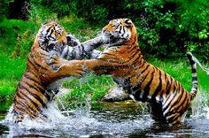 Tigers fighting!