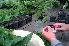 V zahradě jsem začala pěstovat borůvky, no manžel nevěřil, že vyrostou. Já jsem si však našla tento ověřený trik, díky čemuž jich mám v zahradě kopec! - Chránit své zdraví Celery, Pesto, Vegetables, Plants, Vegetable Recipes, Plant, Veggies, Planets