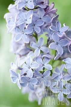 Lilac (Syringa Vulgaris) 'President Lincoln' (left side of house) Blossom Flower, Flower Art, Lilac Plant, Syringa Vulgaris, Birthday Cards For Mom, Flower Boutique, Blue Garden, Amazing Flowers, Horticulture