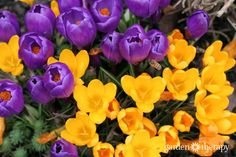 Think ahead to the spring garden and plant these hardy fall bulbs that fit the right space, color, height and number to create the design you desire. Autumn Garden, Spring Garden, Common Garden Plants, Yellow Crocus, Crocus Bulbs, Spring Flowering Bulbs, Bee Friendly, Fall Plants, Planting Bulbs