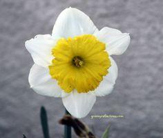 Daffodill. February 2012