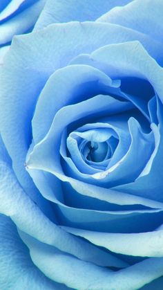 FLOWER BLUE ROSE ZOOM LOVE WALLPAPER HD IPHONE