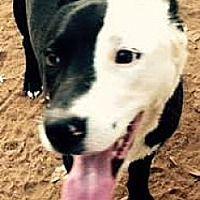 Lake Forest, California - Border Collie. Meet Loki, a for adoption. https://www.adoptapet.com/pet/22129780-lake-forest-california-border-collie-mix
