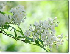 Acrylic Print featuring the photograph White Blooms Of Slender Deutzia by Jenny Rainbow Art Prints For Home, Fine Art Prints, Thing 1, Acrylic Sheets, Got Print, Any Images, Beautiful Artwork, Fine Art Photography, Clear Acrylic