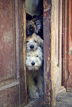peek a boo dogs and old doors Repinned by www.silver-and-grey.com