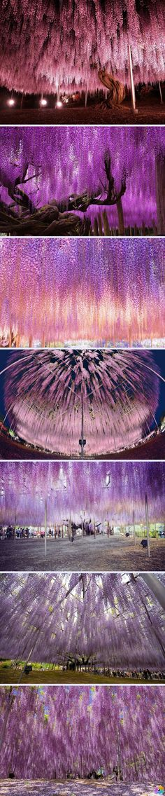 144 Yaşındaki Mor Salkım - Japonya www.4finite.com