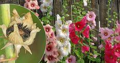 En stockros vill gärna bli flera! Så får du en blomstrande djungel | Land.se Land, Gardening, Tips, Lavender, Advice, Garden, Lawn And Garden, Yard Landscaping, Hacks