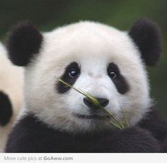 How can you not love pandas?