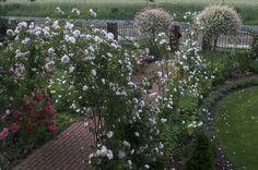 """Wzdłuż wejścia do domu są trzy duże kute łuki, na których rośnie odmiana róży pnącej  o porcelanowo-różowych kwiatach - """"New Dawn"""""""
