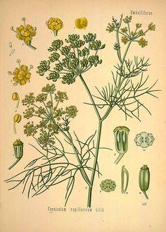 ウイキョウ(フェンネル) セリ科 Foeniculum vulgare (fennel sweet),  Köhler (1890)